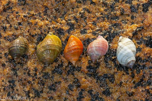Dogwhelks in Maine.