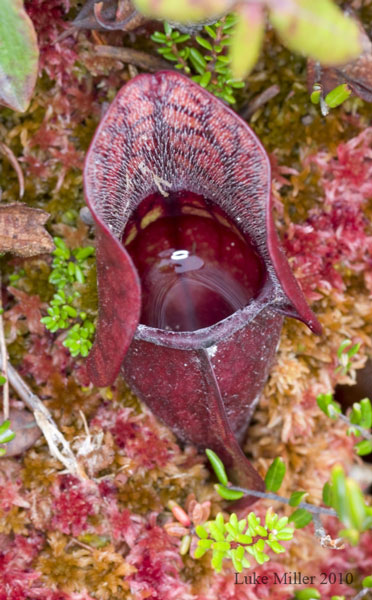Pitcher plant from the Quoddy Head bog