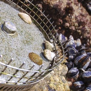Lottia limpets sitting on an experimental plate in the intertidal zone.
